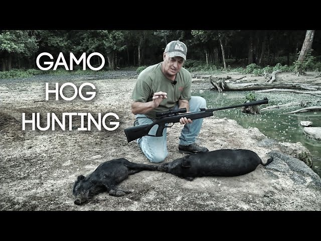 TWO Headshots on Hogs with GAMO Air Rifle