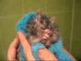 Приколы с животными. Крыса Мыш-Мыш забавно умывается