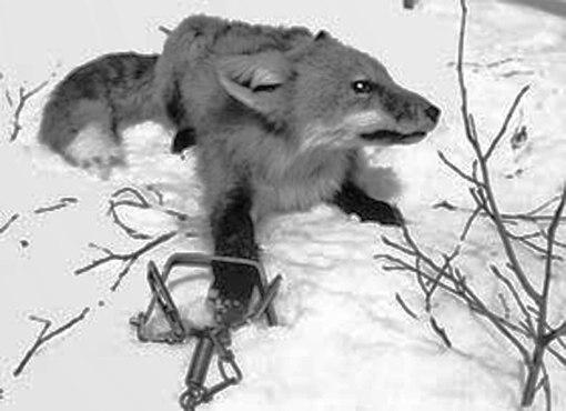 Ловушка для лисы своими руками фото