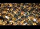 Apis mellifera ligustica