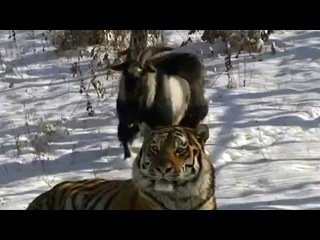 Козел Тимур за время дружбы с тигром Амуром набрал вес - Первый канал