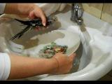 Купаю птенцов попугаев Нимфа - Корелла купание корелл