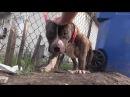 Спасение собаки питбуль 2