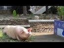 Счастливая тайская свинья-буддистка