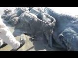 На пляж Мексики вынесло 4 метровое тело неизвестного морского монстра