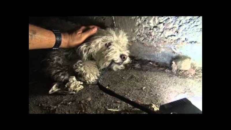 Hope For Paws Bonded poodles struggling to survive in a sewer get a heartwarming rescue