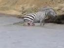 Krokodily-napali-na-zebru