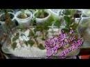 Комнатное растение фуксия осенняя обрезка и укоренение черенков Часть 2 я