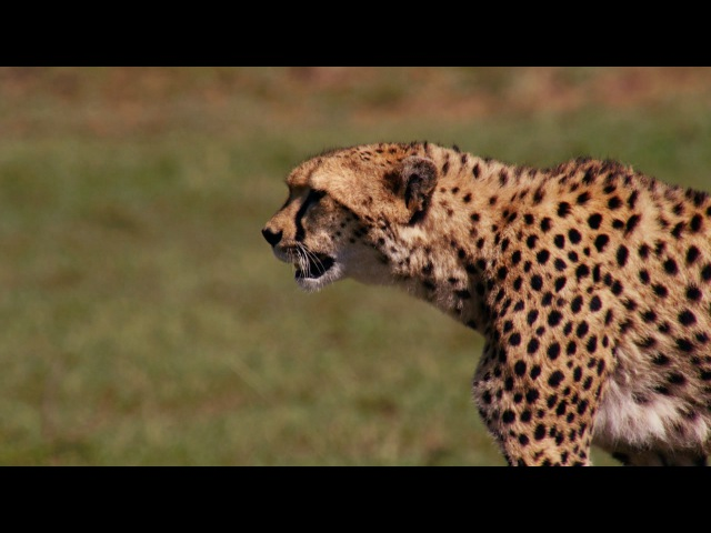 Cheetah reaches top speed of 55mph to catch its prey - The Hunt: Episode 5 preview - BBC One