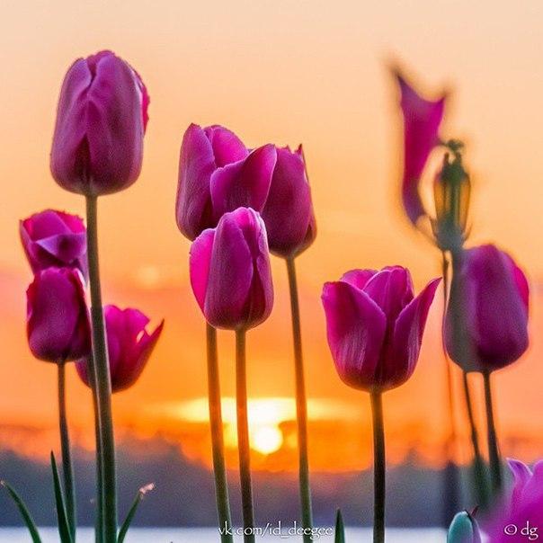 Всем девушкам - тюльпаны!