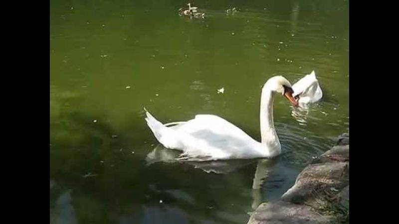 Лебеди в софиевском парке в умане.Swans in sofiyevsky park in Uman.