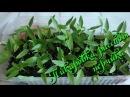 Перец декоративный острый (Capsicum annuum) пикировка рассады в домашних условиях