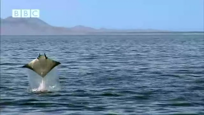 Weird FLYING DEVIL RAYS - Earthflight (Winged Planet) (Low)