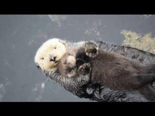Маленькая выдра плавает на животе у мамы / 1 Day Old Sea Otter Trying to Sleep on Mom