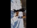 Собачьи бои питбуль Босс 10 месец vs питбуль Тайфун 2 года