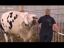 Как принимают роды у коровы