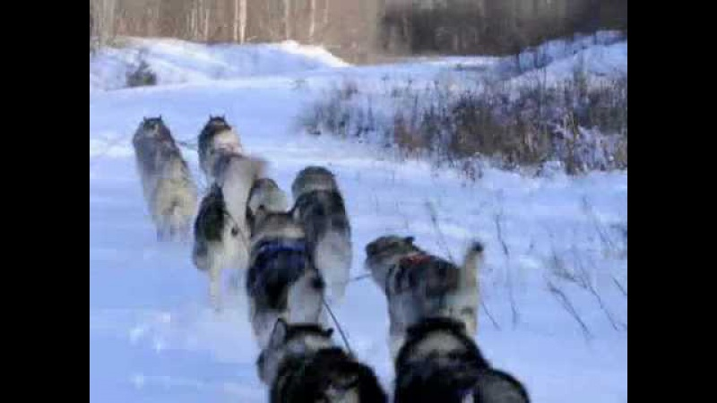 SENDAISHI ALASKAN MALAMUTES training in the mountains
