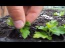 как вырастить рассаду хризантем Размножение хризантем