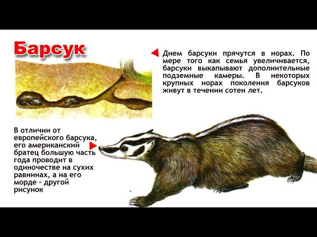 Энциклопедия для детей. Буква Б. Барсук.