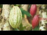 Фермеры выращивают какао вместо кофе из-за потепления (новости)