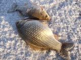 Рыбалка на карася. Ловля карася в зимний период. Как ловить карася зимой. Карась ...