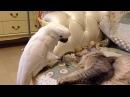 Попугай трогает кота (Злой гений).