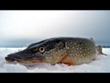 Огромные щуки на жерлицу - 25 кг УЛОВА!!! Зимняя рыбалка, супер!