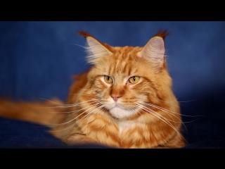 Мейн-кун – удивительная кошка, вызывающая уважение и трепет