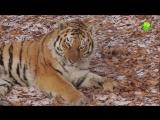Тигр Амур и козел Тимур. Чудесная Дружба