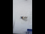 Laika Shovelling the Sidewalk
