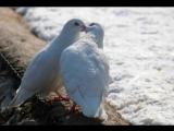 Евгений Куликов - Бедные голуби