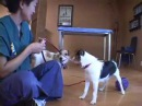 Jack Russell Terrier JRT Aggression When Blowing in Face drsophiayin
