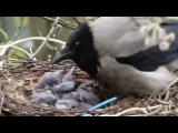 Семья ворон кормят своих птенцов