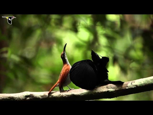 Magnificent riflebird / Великолепная щитоносная райская птица / Ptiloris magnificus