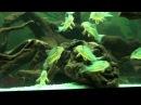 Коридорас штерба Corydoras sterbai