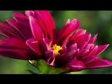 Распускающиеся цветы. Красотища природы
