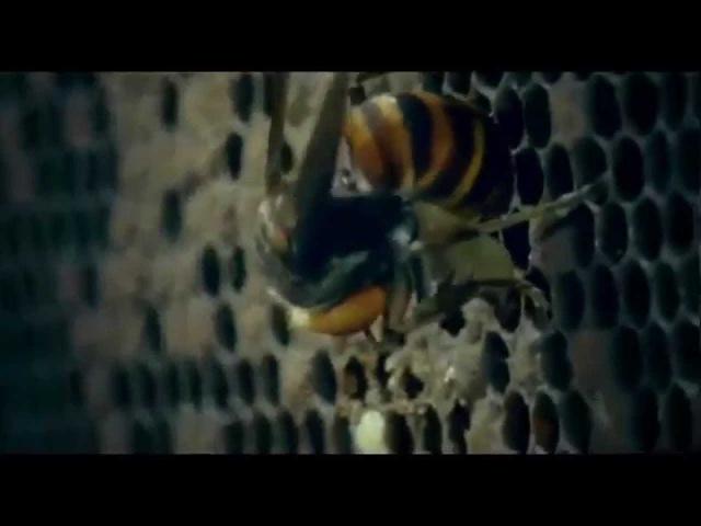 30 шершней против 30 000 пчел