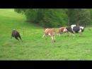 Счастливые коровы спасённые с бойни Вы видели их такими
