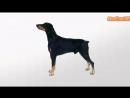 Порода собак - Доберман