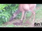 Девушка сняла из окна дома, как в саду олениха родила двух детёнышей / Deer Gives Birth to Twins in Backyard / Debbie Parlette