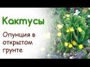 Кактусы в цветнике Опунция и эхинопсис украшают альпинарий
