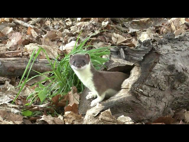 Large weasel (Hermelin)catches a mouse