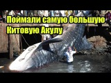 Рыбаки поймали самую большую в мире китовую акулу | ИНТЕРЕСНЫЕ ФАКТЫ