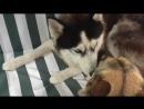 Husky CayZer German shepherd Cherry