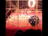 Экзотик шоу. Цирк в Гомеле. Волки.