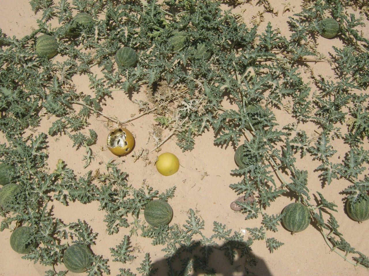 фрукт в пустынях Египта и Иордании