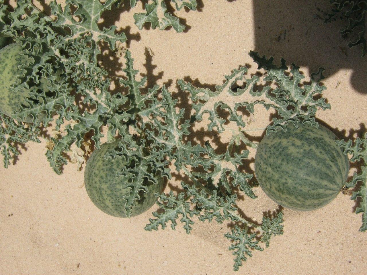 некий фрукт в пустынях  Синая