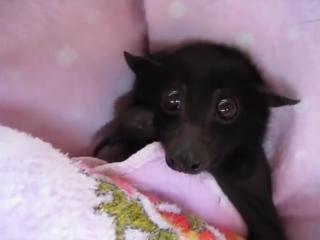 Детёныш летучей лисицы