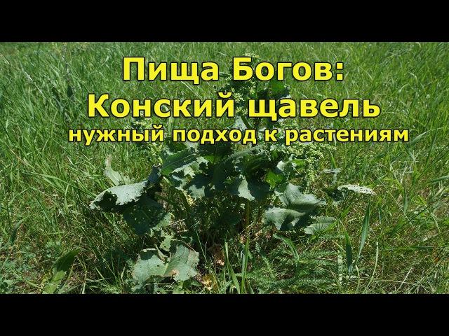Пища Богов: Конский щавель нужный подход к растениям
