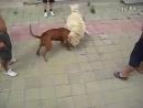 Собачьи бои Питбуль vs Самоедская собака лайка